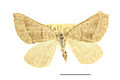 Scotopteryx luridata SLU.JPG