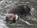 Sea Otter 10 (15397816529).jpg