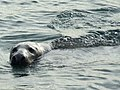 Seal at Boddam Harbour - geograph.org.uk - 1037272.jpg