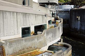 Seattle Aquarium - The salmon ladder