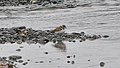 Semipalmated Plover (Charadrius semipalmatus) - Witless Bay, Newfoundland 2019-08-09 (01).jpg