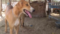 Sengottai dog similar to ramnad mandai dog indian breed.png