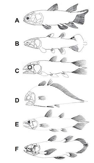 Actinistia - A, Miguashaia bureaui, Shultze, 1973, Upper Devonian (Frasnian), Migausha, Canada;  B, Diplocercides heiligostockiensis, Jessen (1966), Upper Devonian (Frasnian), Bergisch-Gladbach, Germany;  C, Serenicthys kowiensis gen. et sp. nov., Upper Devonian (Famennian), Grahamstown, South Africa;  D, Allenypterus montanus Melton 1969, Lower Carboniferous (Namurian), Montana, USA;  E, Rhabdodema elegans, (Newberry, 1856), Upper Carboniferous (Westphalian), Linton, Ohio, USA;  F, Latimeria chalumnae Smith 1939, recent, east coast of Africa.