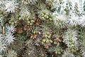 Ses Salines - Botanicactus - Cylindropuntia tunicata 06 ies.jpg