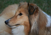 Facial profile of a sable-coloured shetland sheepdog