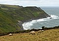 Sheep and Castle Point.jpg