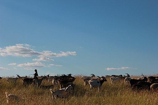 Shepherdess and goats