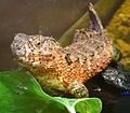 Shinisaurus crocodilurus.jpg