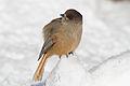 Siberian Jay (Perisoreus infaustus) (13667824335).jpg