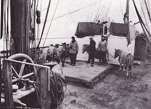 Terra Nova Expedition - Ponies on board Terra Nova