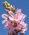 Sidalcea oregana ssp-spicata flowers.jpg