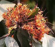 Sita-Ashok (Saraca asoca) flowers in Kolkata W IMG 4242