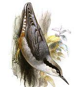 Les partes cimeres del esguilador son azulaes, coles partes inferiores clares y les ancas acolorataes..