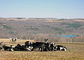 Skaneateles cows.west side.800R.jpg