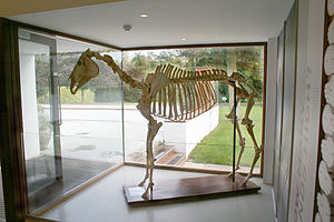 Arkle - Image: Skeleton of Arkle the horse at the Irish National Stud