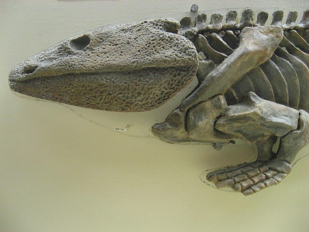 Skeleton of Ichthyostega.JPG
