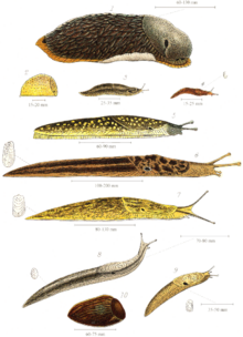 Various species of British land slugs, including (from the top) the larger drawings: Arion ater, Kerry slug, Limax maximus and Limax flavus
