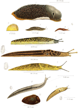Slug - Various species of British land slugs, including (from the top) the larger drawings: Arion ater, Kerry slug, Limax maximus and Limax flavus