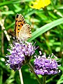 Small Copper on Scabious flower - geograph.org.uk - 921889.jpg