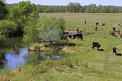 Small river Ulicja and cows.jpg