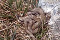 Smooth Snake (Coronella austriaca) (42722485040).jpg