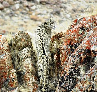 Aggressive mimicry - A camouflaged predator: snow leopard in Ladakh. The distinction between aggressive mimicry and predator camouflage depends on the signal given to the prey, not easily determined. (Photo by Tashi Lonchay)