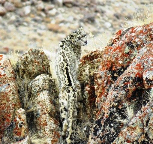 Snow Leopard in Ladakh( Photo by Tashi Lonchay)