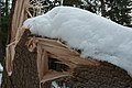 Snow breakage - trunk.jpg