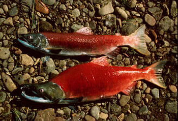 "Pacific salmon are semelparous or ""big ba..."
