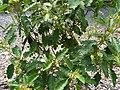 Solanum incompletum (4933764632).jpg