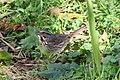 Song Sparrow 3634 (5062785523).jpg