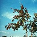 Sorbus aucuparia (1980). (48137448478).jpg