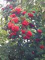Sorbus aucuparia fruit 7.JPG