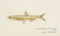 Southern Pacific fishes illustrations by F.E. Clarke 29.jpg