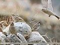 Spanish Sparrow (Passer hispaniolensis) & Great Rosefinch (Carpodacus rubicilla) (35126014026).jpg