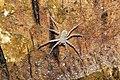 Sparassidae 6182.jpg