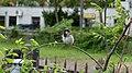 Sparrow (36580594).jpeg