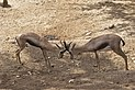 Speke's Gazelle - Gazella spekei.jpg