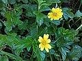 Sphagneticola trilobata ( Asteraceae) 01.jpg