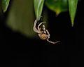 Spider - Night trekking - Bako National Park - Sarawak - Borneo - Malaysia - panoramio.jpg