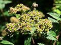 Spiraea japonica Kiev5.JPG