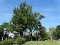 Spomenik prirode Ginko na Vračaru 16.JPG