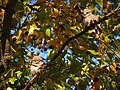 Spotted Owlet - Athene brama - P1050302.jpg