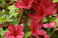 Spring-flowers-azaleas - West Virginia - ForestWander.jpg