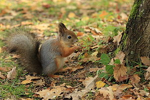 Squirrel in Seurasaari autumn.JPG