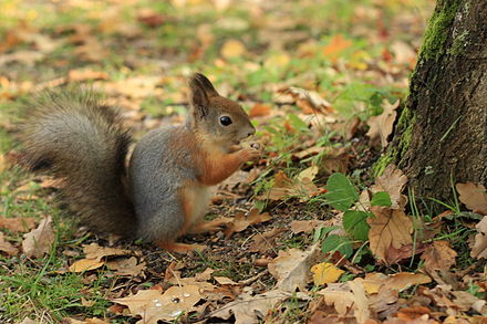 Red squirrel in the Seurasaari island in Helsinki, Finland. The almost domesticated red squirrels on that island have become accustomed to humans thanks to their long-term feeding.[23]
