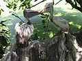 Sri Lankan Pelican.jpg