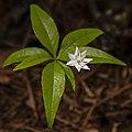 Star Flower (14165099147).jpg