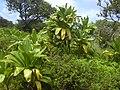 Starr-030729-0114-Cordyline fruticosa-habit-Hanawi stream-Maui (24270224759).jpg