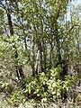 Starr-031013-0018-Acacia mangium-habit-Hamakuapoko-Maui (24378077700).jpg